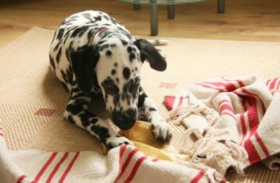Rinderohr für Hunde