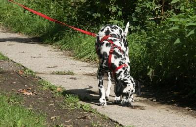 Dalmatiner und seine Nase