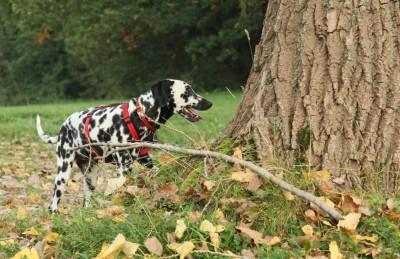 Dalmatiner Angie am Wald