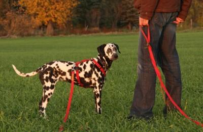 7 Monate alter Dalmatiner-Junghund