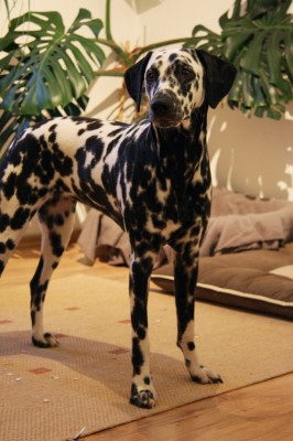 Dalmatiner Angie 8,5 Monate alt