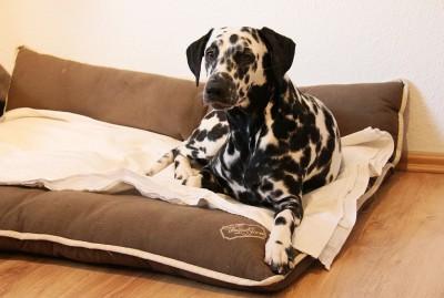 Dalmatiner Angie 9,5 Monate alt