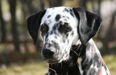Edler Dalmatiner-Blick