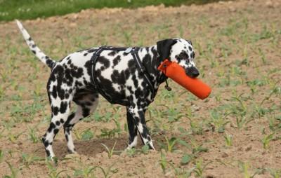 Dummytraining Dalmatiner