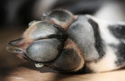 Dalmatiner Hundepfote