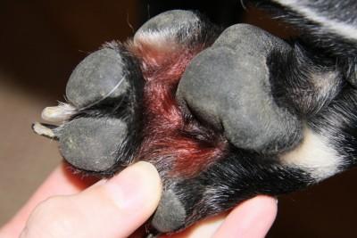 Malassezien an Pfote vom Hund