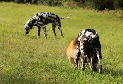 Weidende Dalmatinerkühe