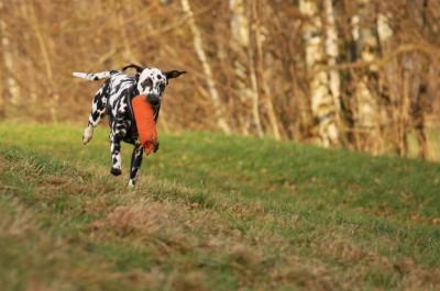 Dummytraining mit Dalmatiner