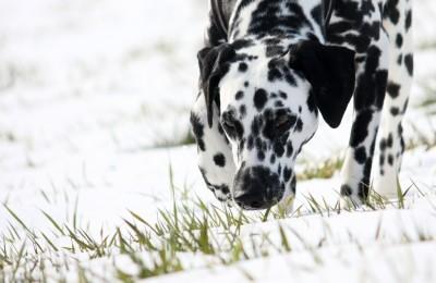 Hundespuren im Schnee