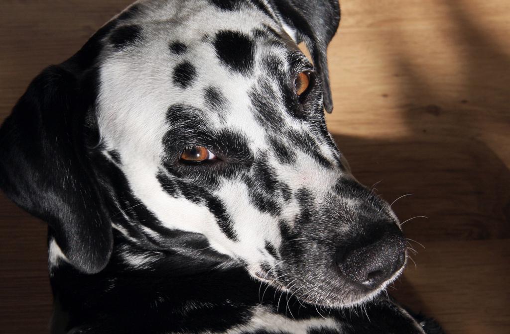 Dalmatiner Angie