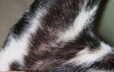 Atopische Dermatitis - Bakterien und Pilzbefall Vorderbein links