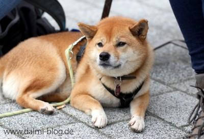 Shiba Inu Kazumi