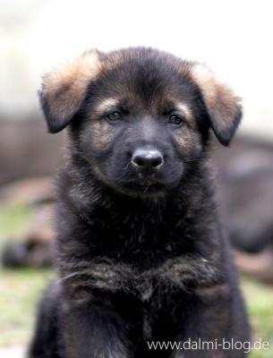 Schäferhund-Puppy
